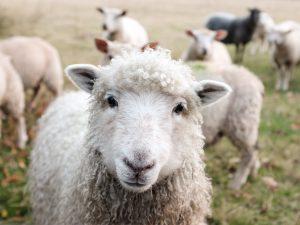 oveja que mira